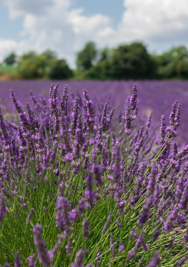 Lavender Love A Day Spent At The Hop Shop In Kent