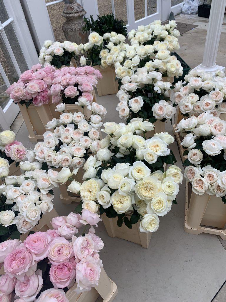 2020 hightlights - david austin roses